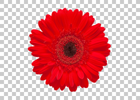 粉红色花卉背景,非洲菊,黛西,花瓣,桃子,德兰士瓦雏菊,花卉,切花,