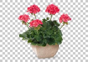 粉红色花卡通,Geraniales,天竺葵科,灌木,人造花,粉红色家庭,天竺