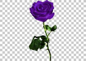 粉红色花卡通,一年生植物,植物茎,洋红色,蔷薇,紫罗兰,floribunda