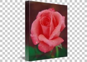 粉红色花卡通,中国玫瑰,桃子,蔷薇,关门,玫瑰秩序,花,红色,粉红色