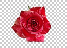 粉红色花卡通,人造花,洋红色,花瓣,蔷薇,玫瑰秩序,粉红色,玫瑰家