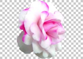 粉红色花卡通,切花,洋红色,蔷薇,玫瑰秩序,花瓣,玫瑰家族,花园里,