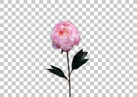 婚礼春花,粉红色家庭,蔷薇,春天,玫瑰秩序,玫瑰家族,植物,粉红色,