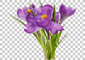 花卉剪贴画背景,草本植物,紫罗兰,番红花,切花,紫罗兰家族,紫色,