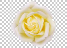 春花,蔷薇,玫瑰秩序,玫瑰家族,桃子,玫瑰,黄色,春天,红色,花卉设