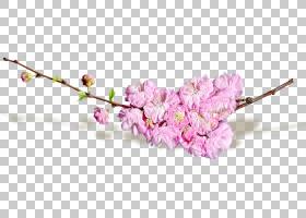 春花,樱花,花卉设计,细枝,分支,春天,开花,丁香,粉红色,植物,植物