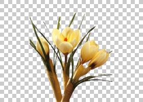 春花,种子植物,细枝,插花,虹膜家族,花卉,黄色,植物,春天,分支,叶