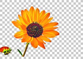 春花,多年生植物,草本植物,素食,花粉,非洲雏菊,星形目,野花,雏菊