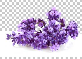 牙齿卡通,紫罗兰,紫色,丁香,英国薰衣草,花,薰衣草油,橄榄油,牙齿