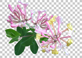 花卉剪贴画背景,分支,金银花科,花瓣,开花,丁香,灌木,金银花,切花