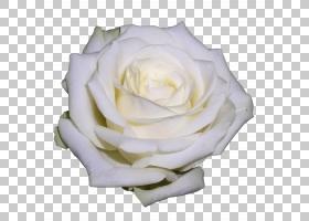 花卉剪贴画背景,蔷薇,花瓣,floribunda,切花,黄色,玫瑰家族,玫瑰