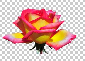 粉红色花卡通,关门,玫瑰秩序,玫瑰家族,粉红色,香水,花卉,花瓣,颜