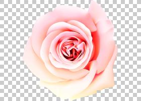 粉红色花卡通,植物,桃子,floribunda,蔷薇,切花,关门,花瓣,玫瑰秩