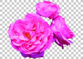 粉红色花卡通,草本植物,粉红色家庭,洋红色,蔷薇,切花,花瓣,玫瑰