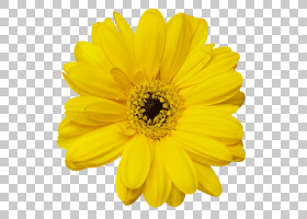 黑白花,黑白,非洲菊,切花,玛格丽特黛西,雏菊家庭,花瓣,向日葵,颜