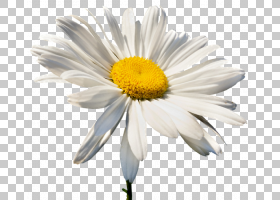 黄花,玛格丽特黛西,紫菀,Chamaemelum Nobile,植物,雏菊家庭,黄色