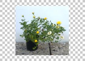 黄花,黄色,植物,灌木,草药,一年生植物,花盆,花,