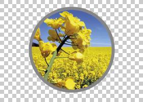 黄花,花,芥菜植物,芥末,黄色,食品质量,卡特卡,行业,动物营养,生