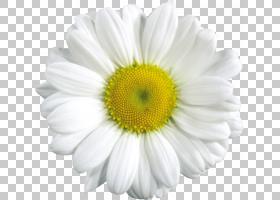 黄花,非洲菊,黛西,黄色,玛格丽特黛西,雏菊家庭,Chamaemelum Nobi