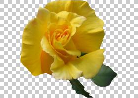 花卉剪贴画背景,切花,关门,玫瑰秩序,玫瑰家族,桃子,植物,玫瑰,数