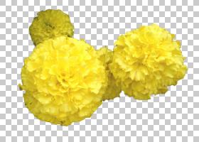 花卉剪贴画背景,切花,花瓣,万寿菊,黄色,菊花,植物,花,托兰,墨西