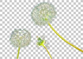 花卉背景,树,植物群,蒲公英,花卉设计,免费,植物,花,黄色,白色,蒲