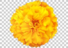 花卉剪贴画背景,大丽花,金盏花,花瓣,切花,绿色,德兰士瓦雏菊,鲑