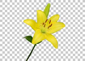 白百合,百合家族,花瓣,植物,莉莉,德兰士瓦雏菊,植物茎,玫瑰,粉红
