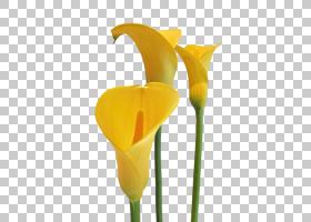 白百合,花瓣,植物群,马蹄莲,植物,白色,植物茎,黄色,切花,百合,阿