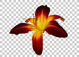 白百合,莉莉,橙色,切花,花瓣,植物,黄花菜,白色,雄蕊,红色,黄色,