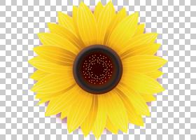 白花,对称性,非洲菊,花瓣,葵花籽,关门,向日葵,白色,普通雏菊,菊