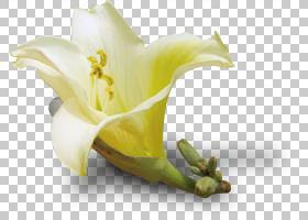 花卉背景自由,莉莉,植物茎,切花,黄色,静物摄影,花瓣,植物群,植物