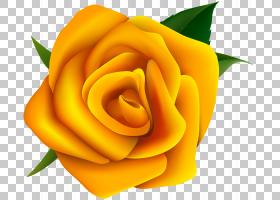 花卉剪贴画背景,橙色,floribunda,关门,玫瑰秩序,玫瑰家族,桃子,