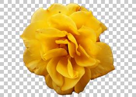 花卉剪贴画背景,玫瑰家族,玫瑰秩序,绿色,颜色,花瓣,切花,玫瑰,花