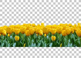百合花卡通,种子植物,百合家族,黄色,春天,场,草甸,植物,花瓣,编