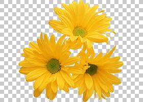 花卉剪贴画背景,硫磺宇宙,一年生植物,牛眼雏菊,金盏花,切花,雏菊