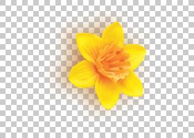 花瓣黄花植物水仙,多年生植物,野花,阿米利斯族(Amaryllis Family