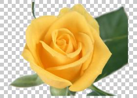 粉红色花卡通,奥地利布里亚尔,蔷薇,桃子,关门,玫瑰秩序,floribun