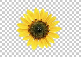 窗口卡通,黛西,黄色,关门,雏菊家庭,向日葵,向日葵,窗口框,园艺,