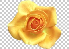 粉红色花卉背景,桃子,关门,玫瑰秩序,玫瑰家族,玫瑰红,橙色,春花,