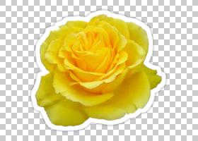 粉红色花卉背景,玫瑰家族,玫瑰秩序,花瓣,学院服,长袍,粉红色,花