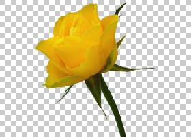 粉红色花卉背景,芽,花卉,植物茎,花瓣,floribunda,玫瑰秩序,玫瑰