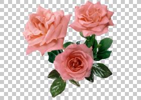 粉红色花卉背景,蔷薇,切花,floribunda,人造花,花瓣,玫瑰秩序,玫