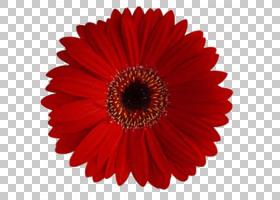 粉红色花卉背景,非洲菊,切花,黛西,花瓣,白色,紫罗兰,紫色,粉红色