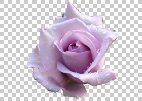 粉红色花卡通,floribunda,关门,花瓣,紫罗兰,蔷薇,玫瑰秩序,切花,