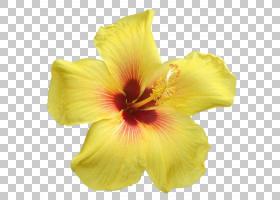 粉红色花卡通,种子植物,黄花菜,梅洛家族,植物,芙蓉,百合,玫瑰,玫