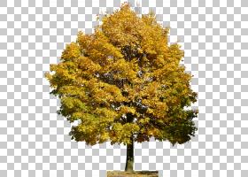 海报背景图像,秋季,平面,落叶,沼泽白桦,枫树,叶,美国落叶松,花,
