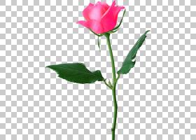 粉红色花卡通,花卉,中国玫瑰,植物茎,切花,蔷薇,花瓣,玫瑰秩序,玫