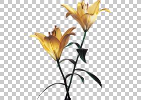花卉剪贴画背景,莉莉,植物茎,切花,分支,黄色,花瓣,植物群,植物,