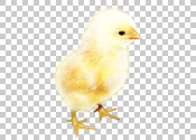 复活节卡通,羽毛,喙,鸟,芬奇,家畜,家禽,推入,复活节,动物,基法兰